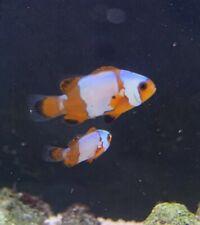 Pair of Black Ice Clownfish Marine Fish Reef Aquarium