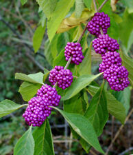 American Beautyberry - French Mulberry - Healthy Potted Plant - Flower- 1 Gallon