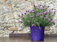 Der Schopf-Lavendel hat am Blütenkopf einen lustigen Büschel -Duftsamen.