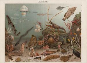 1897 AQUARIUM OCTOPUS SQUID LOBSTER JELLYFISH CRAB SEA ANEMONE STARFISH Print