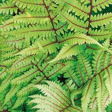Athyrium vidalii 9cm Pot x 1   Lady fern   Vibrant foliage   Shady garden