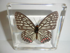 Red Ring Skirt Hestina assimilis Butterfly N in Clear Block Education Specimen