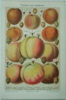 Peaches & Apricots - Original 1908 Chromolithograph by Meyers. Antique Botanical