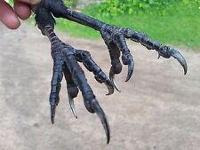 REAL WILD RAVEN Corvus corax FEET TAXIDERMY