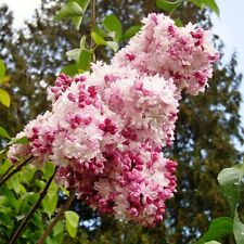 "LILAC Oldfashioned, Mixed, ""Syringa Vulgaris"" Shrub, Perennial 100 SEEDS"