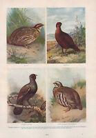 1911 Natural History Doble Costado Estampado ~ Codorniz Capercaille Grouse /