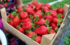 Wild Strawberry Queen Elizabeth Seeds large fruited red Ukraine 10 seeds