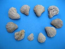 Texas Fossil Cretaceous Neithea Fan Bi-Valve lot of 10 Rare Fossil # 1958