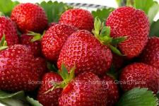 Quinault EverBearing Strawberry Plants- Great For Hanging Baskets And Containers