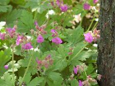 Geranium gegen Schneckenplage wüchsig 20 Pflanzen