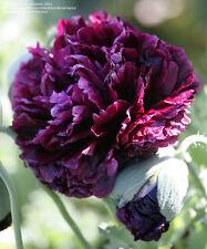 50 Semi Papavero Peonia Nero*POPPY PAPAVER PEONY BLACK somniferum seeds*semillas