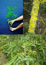 ZANTHOXYLUM AMERICANUM alveolo Frassino spinoso Toothache tree pianta plant