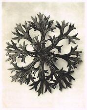 Original Vintage Karl Blossfeldt Botanical Art Photo Gravure Decor Print 5