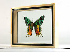 MADAGASCAR Real Butterfly Taxidermy Display Double Side Glass Framed Gift gpasy