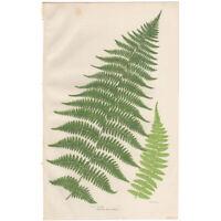 Anne Pratt Ferns antique 1860 botanical print Pl 294 Lady Fern