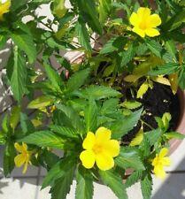 60 fresh seeds DAMIANA semi freschissimi TURNERA APHRODISIACA, libido