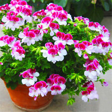 Univalve Geranium Flower Seeds Two-color Red White Perennial Flower Seeds 20 PCS