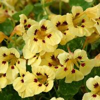 Nasturtium - Cream Troika - 30 Seeds