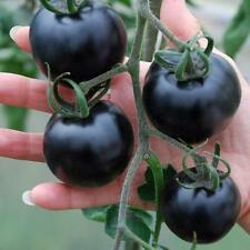 Tomato Seeds American blue Ukraine Heirloom Vegetable Seeds