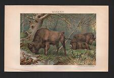 Chromo-Lithografien 1898: WISENT. (Bison bonasus) gewaltiges Wildrind