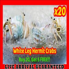 x25 Live Marine Saltwater White Leg Hermit Crabs Aquarium Coral Algae Eater Crew