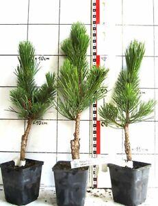 "Pinus nigra ""Select""   -  sehr kompakte dichte Kegelform der Schwarzkiefer"