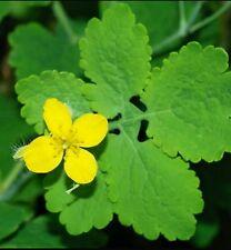 25+ Greater Celandine Poppy Seeds (Chelidonium Majus) Medicinal plant +FREE GIFT
