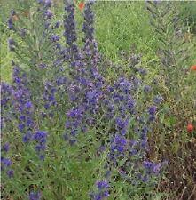 British Wild Flower - Viper's Bugloss - Echium Vulgare - 10g Seeds - Large