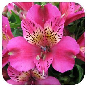 Alstroemeria Inca 'Goal' Jumbo Plug Plant Perennial Peruvian Lily