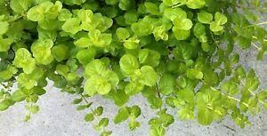 10 Starter Creeping Jenny Plants (golden yellow) Lysimachia nummularia moneywort