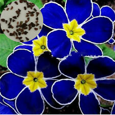 100pcs Blue Evening Primrose Seeds Pansy Flower Garden Bonsai Yard Plant Decor