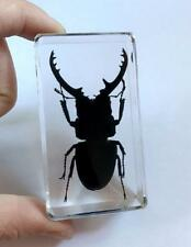 01SZ Specimen Ghost Stag Beetle Insect Paperweight Specimen Taxidermy