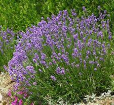 100 Graines de Lavande Méthode BIO seeds fleurs vivace livraison gratuite
