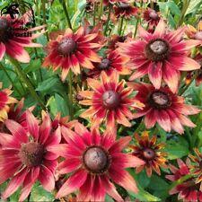 100x Rudbeckia Hirta Coneflower Seeds Red Flower Bonsai Planting Perennial