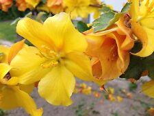 Fremontodendron ca. 80 - 100  cm california glory winterhart Blühwunder