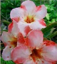 5 seeds Adenium,Pilacle, Arabicum, Desert Rose