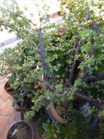 jardin,terrasse verriére ,crassula petite feuille  pour futur BONZAI