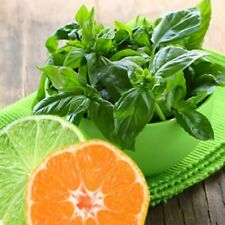LIME BASIL SEEDS *  CITRUS FLAIR * ZESTY AROMA OF LIME * 100 SEEDS* GOURMET *