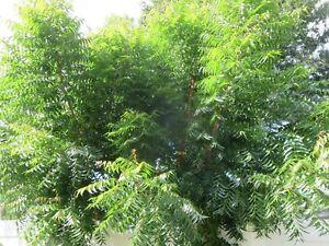 2 oz Fresh Organic Neem Leaves with Stem