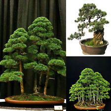 20x Green Juniper Bonsai Tree Seeds Purify Air Home Office Decor Easy to Grow.