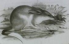 Drawing: Bilby (Macrotis/Rabbit-bandicoo t), Marsupial, Magic Lantern Glass Slide