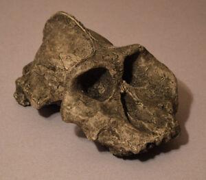 """Australopithecus Aethiopicus Skull Replica """"Economy"""""""