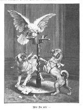 Mops, zwei Möpse im Streit mit Papagei, zwei Original-Holzstiche von 1893