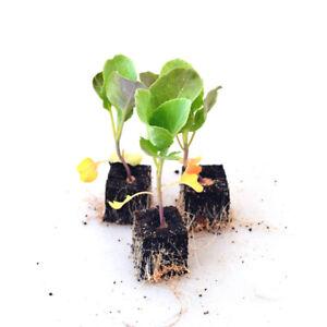 Gemüsepflanzen - Blumenkohl - Brassica oleracea var. botr. - verschiedene Mengen