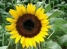 sunflower Taiyo japanese heirloom Easy Flower yellow, full sun 42 seeds! groco