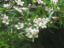Lemon Scented Tea Tree Seed Drought & Moderate Frost OK Evergreen