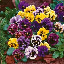 Flower seed - PANSY ROKOKO MIX - Viola wittrockiana