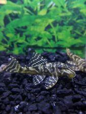 3 Clown Pleco L103 live freshwater algae cleaner fish