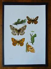 Vintage impresión del Emperador Moth educativo escolar Gráfico Insectos Entomología 1961