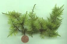 Grüner Boden statt Teichfolie: Unterwasserfarn immergrüne Pflanzen für den Teich
